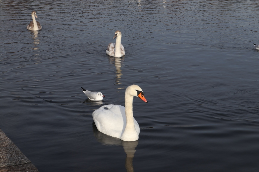 swan hyde park.JPG